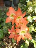 Röd orange amaryllisblommaträdgård Royaltyfri Foto
