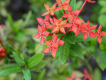Röd orange grov spikblomma med bladet, selektiv fokus Arkivfoto