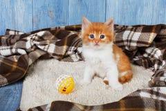 Röd orange kattunge på blått trä Royaltyfri Foto