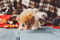 Röd orange nyfödd kattunge i en plädfilt Arkivfoto