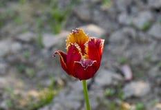 Röd orange tulpan på grå bakgrund arkivbilder
