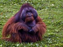 Röd Orangutan Fotografering för Bildbyråer