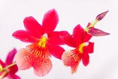 Röd orkidé Arkivfoto