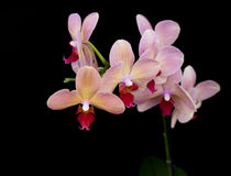 Röd orkidé för tegelsten Arkivbilder