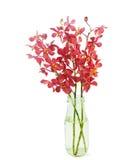 Röd orkidé i vasen   Arkivfoton