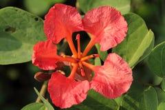 Röd orkidé två Arkivfoton