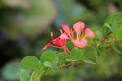 Röd orkidé två Fotografering för Bildbyråer