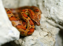 röd orm Fotografering för Bildbyråer