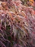 röd ormbunke Royaltyfria Foton