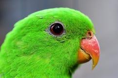 Röd-påskyndad papegojanärbild Arkivbild
