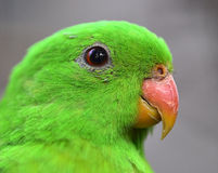 Röd-påskyndad papegojanärbild Royaltyfria Foton