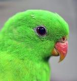 Röd-påskyndad papegojanärbild Royaltyfri Bild