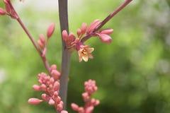 Röd palmliljablom - Hesperaloe Parviflora arkivfoton