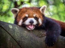 Röd panda Arkivbild