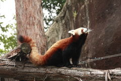röd panda fotografering för bildbyråer