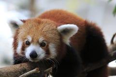 Röd panda 4 Arkivfoto