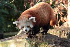 Röd panda. arkivfoto