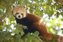 Röd panda Royaltyfri Foto