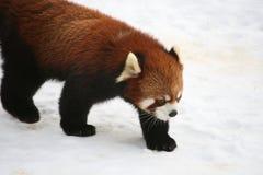 Röd panda Arkivfoto