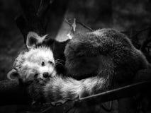 Röd panda Royaltyfri Fotografi