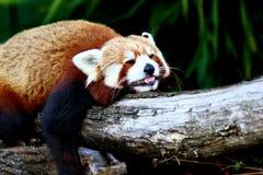 Röd panda, aka lesser panda Royaltyfri Bild
