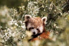 Röd panda, aka lesser panda Royaltyfri Fotografi