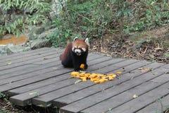 Röd panda, Chengdu Kina Royaltyfria Foton