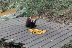 Röd panda, Chengdu Kina Fotografering för Bildbyråer