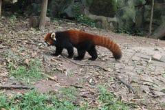 Röd panda, Chengdu Kina Arkivfoto