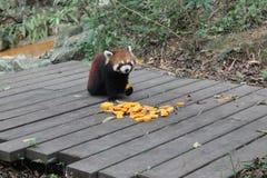 Röd panda, Chengdu Kina Royaltyfri Foto