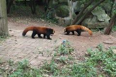 Röd panda, Chengdu Kina Royaltyfri Fotografi