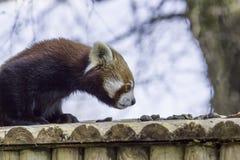 Röd panda Djur som sniffar luften för doft Arkivbild
