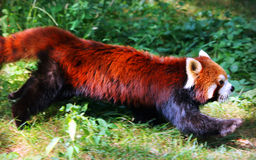 Röd panda eller Lesser Panda Royaltyfria Bilder