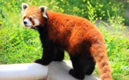 Röd panda eller Lesser Panda Royaltyfri Bild
