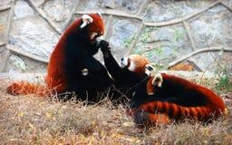 Röd panda eller Lesser Panda Fotografering för Bildbyråer