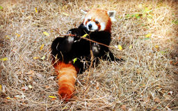Röd panda eller Lesser Panda Royaltyfria Foton