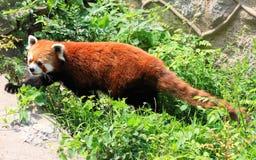 Röd panda eller Lesser Panda Arkivfoto