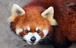 Röd panda eller Lesser Panda Royaltyfri Foto