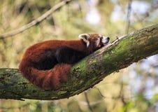 Röd panda eller lesser panda (Ailurusfulgens) Royaltyfria Bilder