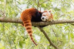 Röd panda, Firefox eller Lesser Panda Arkivfoto