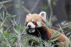 Röd panda i Darjeeling, Indien royaltyfri fotografi