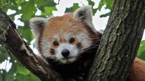 Röd panda i en trädstående royaltyfria foton