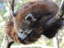 Röd panda i ett träd Royaltyfri Foto