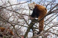 Röd panda i ett träd royaltyfri fotografi