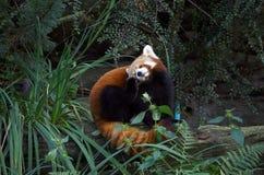 Röd panda i handling Arkivbild
