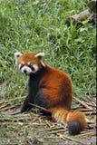 Röd panda i Sichuan, Kina fotografering för bildbyråer