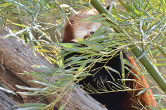 Röd panda och bambu 2 Arkivbild