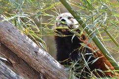 Röd panda och bambu 3 Arkivbild