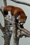 Röd panda på ett träd Arkivbild