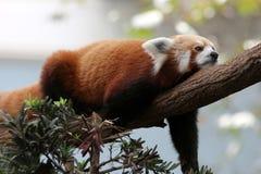 Röd panda på träd Royaltyfria Bilder